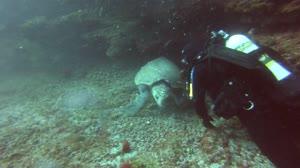 loggerhead turtle - henderson rock, near Moreton Island, Qld, Australia - august 2013