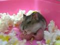 Hamster Nursing babies