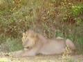 Jungles king
