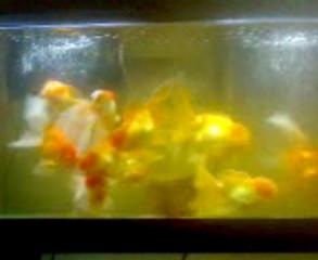 Huge Goldfishes & flowerhorns