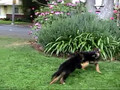 Cute German Shepherd Puppies Playing!