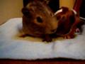 hungry guinea pigs take/3