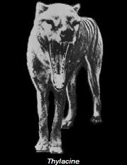 Thylacine aka Tazmanian Tiger (1933)