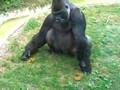 Gorilla Eating Poop!