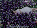 [H!F] Aya Matsuura - Hyacinth (sub)