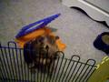 CRAZY guinea pig