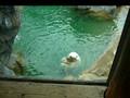 Polar Bear at the Rochester Zoo
