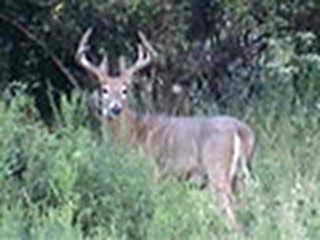 August 20 Whitetail Bucks ONLY on HawgNSons TV!
