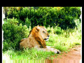 The Lion.avi