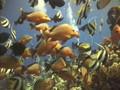 POLYNESIAN FISHS