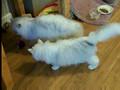 Silver Persian Cats