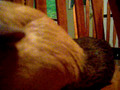 FUNNY GUINEA PIG...SO STUPID!!!!! WATCH THIS!