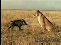 Lion plays with a boar