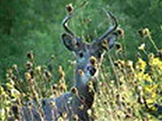 Wisconsin Whitetail Buck Sept. 16 ONLY on HawgNSonsTV!