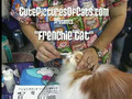 Frenchie Cat Getting Primped!