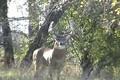 Quick Clip 3 Nov 7 Boone & Crockett Whitetail Buck ONLY on HawgNSonsTV!