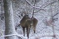 Quick Clip 8, December 1 Whitetail Bucks ONLY  on HawgNSons TV!