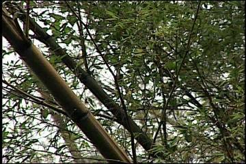 台灣動物百物--青背山雀