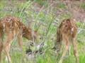 Funky Zoo: 102 - Twin Bambis