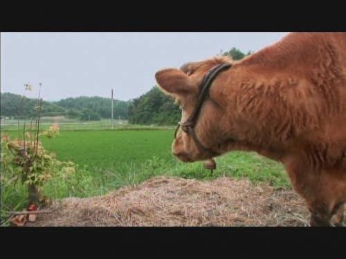 Old Partner Korean Documentary, Special 1 Happy Bull