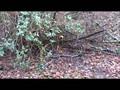 Dog Eats Tree - Superdog vs Evil Dr Tree Stump - starring Jasmine the Staffordshire Bull Terrier