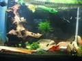 Cristal red shrimp tank