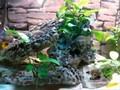 Tanganika fish tank