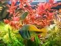 Boeseman's rainbowfish courting