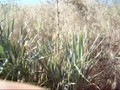 Yucca Root Shampoo 'soap weed' wilderneess survival
