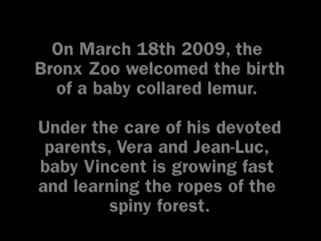 A Baby Collared Lemur's First Six Months