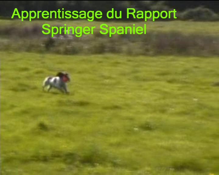 Dressage Chasse: Springer Spaniel au rapport