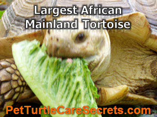 Informative Details About Spur Tortoise