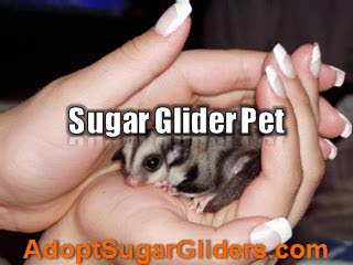 Sugar Glider Pet - Get Along With Your Little Pet