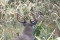 Bow Hunting Boone & Crockett Whitetail Bucks October 9 ONLY on HawgNSonsTV