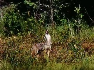 Natural Kingdom Collection Language of wolves.wmv