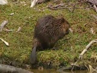 Natural Kingdom Collection Super beaver.wmv