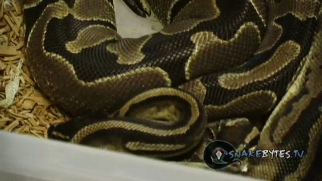 """SnakeBytesTV """"Snakes Like Sex Too!"""""""