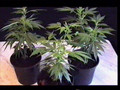 Stoned.Free.-.guide.to.growing.cannabis.avi