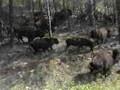 Buffalo Herd, Custer State Park, South Dakota, USA
