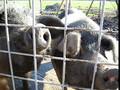 Snorting Pigs