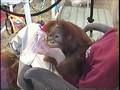 Feeding A Baby Orangutan