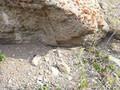 Crotalus oreganus lutosus