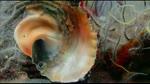El Neoclinus blanchardi