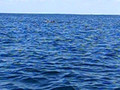 dolphins off coast of phi phi CIMG0523.AVI