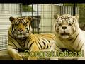 White Tiger And Orange Tiger Get Home