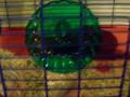 Hamster pikachu