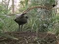 A lyrebird imitates the sounds of a camera, a car siren, and cha.wmv