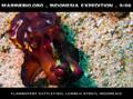 Flamboyant cuttlefish of Lembeh Strait, Sulawesi, Indonesia