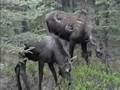 Moose Encounter, Denali National Park, Alaska (Please Raise Volume)