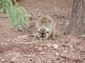 Meerkat at Phoenix zoo